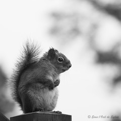 My New Friend :-) (Sous l'Oeil de Sylvie) Tags: blackandwhite nature animal square noiretblanc pentax bokeh qubec april avril squirel carr beauce 80200mm cureuil manuelle 2013 k30 profondeurdechamps sousloeildesylvie