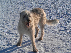 ruby winter park (Lynda IW) Tags: wolfhound