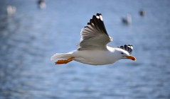 Fly by (Dennis Sla) Tags: sea bird nature water animal outside island iceland nikon sigma reykjavik 50150mm d7000