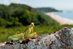 Mantis (rafael abreu) Tags: nature mantis insect wildlife shore bahia portoseguro louvaadeus