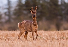 Shedding roe deer buck (Wouter's Wildlife Photography) Tags: nature mammal wildlife ngc npc bok buck shedding roedeer billund reebok rådyr ree capreoluscapreolus zoogdier mygearandme mygearandmepremium mygearandmebronze mygearandmesilver mygearandmegold photographyforrecreationeliteclub