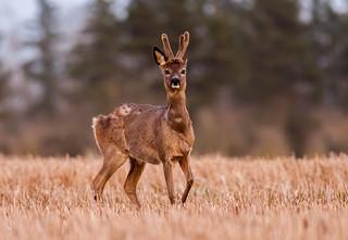 Shedding roe deer buck