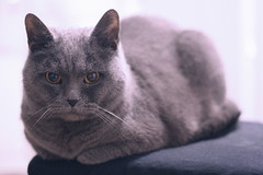 27/365 (melody_dean) Tags: colour cat 50mm day27 britishshorthair niels 365days 27365 canon40d melodydean