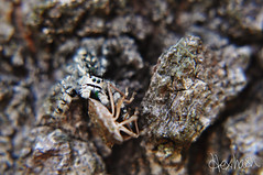Tan Jumping Spider (hexihash) Tags: trees hairy brown black macro tree up mouth bug hair fur spider big jumping furry close feeding eating stripes stripe tan fast bugs camo eat hide bark rack camouflage feed hiding predator racks stink consuming consum