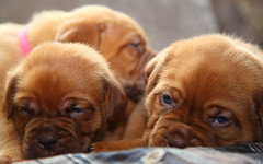 Dogue de Bordeaux (laurencebissett) Tags: dogs face puppy robot pups sad cutest saddog doguedebordeaux dogdebordo