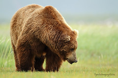VAN (Ross Forsyth - tigerfastimagery) Tags: bear usa brown male nature alaska wildlife ak free bbc apex grizzly van predator boar animalplanet hallo brownbear katmai katmainationalpark coastalbrownbear hallobay greatbearstakeout