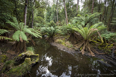 Fernery (Gavin Wakerell Photography) Tags: fern green nature water forest nationalpark natural timber logs tasmania mountfield 2013