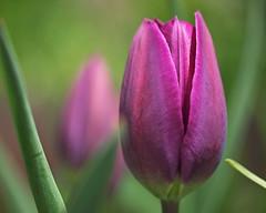 young purple tulips (rona black photography) Tags: macro closeup bulb purple tulips head young saltlakecity ronablack