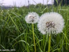 WP_20130426 (casirfm) Tags: cameraphone flower nokia aprile 2013 casirfm pureview lumia920