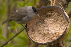 Blackcap 1 (Bassman99) Tags: blackisle gardenbirds scottishwildlife