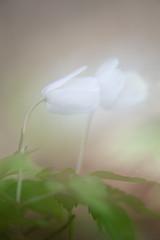 I want to kiss you (Monique vd Hoeven) Tags: macro spring kiss kissing belgie ardennen romantic bloemen voorjaar thierache bosanemoon nikond700 macrodreams nikor105mmm regniessart