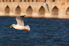 (saeid.goodarzi) Tags: bird birds  esfahan   zayanderood zayandehrood