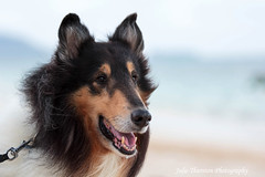 Lassie Dog (Julie Thurston) Tags: ocean sunset portrait dog pet moon animal tongue hair island hawaii furry friend collie child mask animallover teeth profile longhair fluffy wave ears canine hawaiian tropical mansbestfriend cody lassie lanikai petportrait mokes furrydog furryfriend longnose fluffydog roughcollie householdpet lassiedog