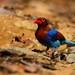 Sri Lanka Blue Magpie - කැහිබෙල්ලා (Urocissa ornata) @ Sinharaja Forest Reserve.