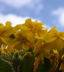 Springtime (Anita Curnin) Tags: flowers blue green leaves yellow clouds spring flora skies leeds roundhaypark roundhay primulas