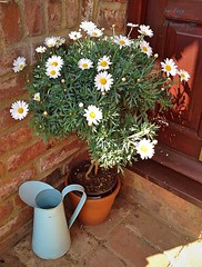 it's just daisies by the door (green-dinosaur) Tags: flowers light white daisies colours sixwordstory theme 365 springtime iphone cottagegarden iphone4 iphoneography theinspirationgroup suefagg