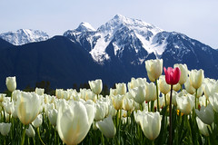 Agassiz Tulip Festival (どこでもいっしょ) Tags: flowers white snow canada mountains nature colorful bc tulips lanscape tulipfield blooming mtcheam m43 beautifulbritishcolumbia em5 mirrorless seabirdisland agassiztulipfestival microfourthirds olympusmzuikodigitaled14150mmf4056 olympusomdem5