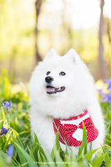 Samoyed (Alfred M.) Tags: dog pet cute animal samoyed