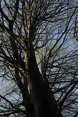 Maigang, 1. Mai: Erst sprlich belaubt, die Buchenhand; Baccumer Wald, Lingen HS8_4258 (Chironius) Tags: trees tree germany deutschland rboles boom arbres rbol bok alemania albero wald bume allemagne arbre rvore baum trd germania gegenlicht fagus emsland buche lingen beuken aa  niedersachsen  buchen  fagaceae faia  rotbuche fagales rosids    buchengewchse kayn buchenartige fagoideae baccumerforst baccumerwald fabids buchenhand lingenerhhe
