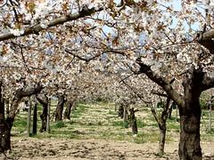 Águas Frias (Chaves) - Cerejeiras em flor (Mário Silva) Tags: flores portugal flor cerejas chaves aldeia trásosmontes cerejeiras cerdeira 2013 ilustrarportugal águasfrias