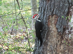 Pileated Woodpecker (RonG58) Tags: pictures new trip travel light usa color bird film nature birds fauna forest geotagged photography us photo spring woods flora woodpecker raw day image photos live wildlife wayne birding maine picture images photograph digitalcamera migration tori exploration habitat mori photooftheday picoftheday pileatedwoodpecker waynemaine birdwalk greatphotographers loiseau fugifilm natureplus laforêt natureexploration elpájaro floraandfaunaoftheworld thewonderfulworldofbirds dervogel mygearandme finepixhs20exr rememberthatmomentlevel1 rong58 vigilantphotographersunite