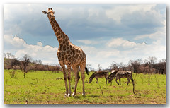 Above It All (david.gill12) Tags: southafrica giraffe pilansberg greatphotographers flickrsportal