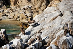 Pelican Rock (EmperorNorton47) Tags: birds digital mexico photo landsend bajacaliforniasur brownpelican cabosanlucas