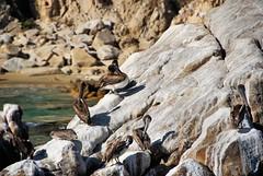 Pelican Rock (EmperorNorton47) Tags: birds digital mexico photo exterior landsend bajacaliforniasur brownpelican cabosanlucas pelecanusoccidentalis