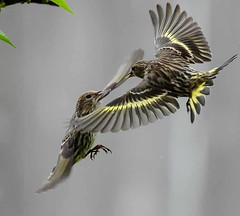 angry birds (Dave Renwald) Tags: pine wings pinesiskins siskins fightingbirds