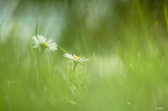 painting spring (maina29) Tags: flower green grass spring bokeh 50mmf12