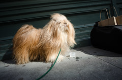 water break (Charley Lhasa) Tags: nyc newyorkcity dog ny newyork cup water shop shopping store nikon chelsea raw manhattan 28mm sidewalk muji charley argo lightroom lhasaapso petcarrier adobelightroom nikona charleylhasa teafco file:original=raw software:adobe=lightroom iso:speed=100 flash:used=noflash metering:mode=pattern ev:adj=0ev program:mode=aperturepriority exposure:setting=secatf28 image:crop=uncropped nikoncoolpixa camera:nikon=coolpixa camera:name=nikoncoolpixa focal:length=185mm adobelightroom44 adobephotoshoplightroom44 focal:length35mm=28mm secatf28iso100185mm mujichelsea image:number=dsc1453 date:taken=130512163253 date:uploaded=130516230520