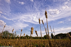 Cattails and sky (citrusjig) Tags: sky wisconsin spring pentax farmland cattails manualfocus kx sigma1020mmf456 vernoncounty