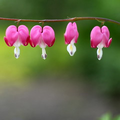 bleeding heart variation i - iv (summer_57) Tags: canon bleedingheart 1450 eos5d