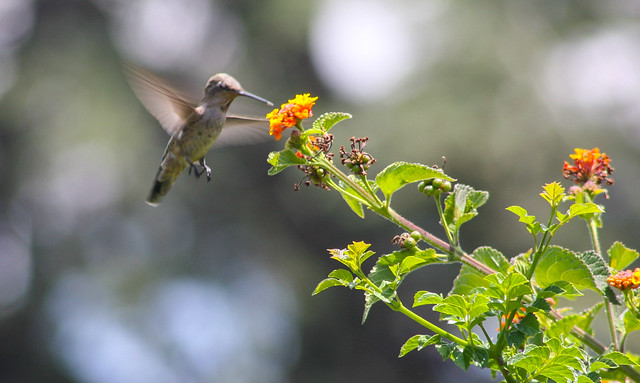 Hummingbird_at_Geek_Hill_2013-437