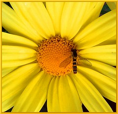 Formalities (Walter A. Aue) Tags: flowers canada insect spring novascotia schwebfliege — formalities syrphida walteraaue