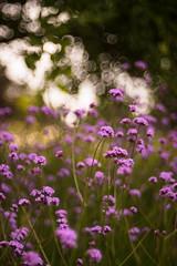 Verbena (tonybill) Tags: flowers gardens bokeh july surrey miscellaneous wisley rhswisley rhs sonya7 meyeroptikgorlitztrioplan28100