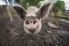 Snout (carl.walker) Tags: snout pig farm farmlife oldham mud tamron nikon tamron1530 nikond610