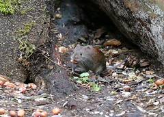 Vole on the Hunt (eric robb niven) Tags: life wild nature animal forest scotland vole tentsmuir