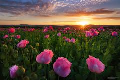 pink poppy sunrise (Alexander Lauterbach Photography) Tags: poppies poppy mohn mohnblume mohnfeld pink sunrise sonnenaufgang blumen flowers germerode hessen nordhessen deutschland germany sony a7rii