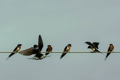 _9998883 (James_Dannelly) Tags: bird nature swallow nikon d600 farmlife