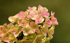 Pink Hydrangea (Sky_PA (Catching up slowly- On/Off)) Tags: hydrangea plant flower pink beautiful amateurphotography canon t6i rebelt6i canoneos efs55250mmf456isstm colors colorful closeup depthoffield flowers hershey inspiredbylove interesting petals nature outdoors pennsylvania