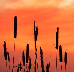 En attendant demain (M. Carpentier) Tags: ilesdelamadeleine ciel sky nuages cloud horizon ile calme weather temprature rouge red orange herbe grass sunset sunrise coucherdesoleil leverdesoleil wondersofnature naturalwonders naturalwonder