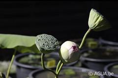 DSC_7912 (Waterlelie.be) Tags: nelumbo noordamerika northcarolina pinkprettyprincesspayton verenigdestatenvanamerika