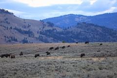 On The Range, Yellowstone Park, Wyoming, USA (GOD WEISFLOK) Tags: montana wyoming usa yellowstonepark gordweisflock weisflock