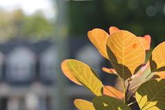 Backlighting on an end-of-summer-kind of day (MomOfJasAndTam) Tags: leaf leaves backlit backlighting house bokeh bitofbokeh nature greenery nosummerdontendyet light lighting dof depthoffield