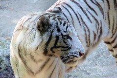 P1020802 (LaBonVampire) Tags: tiger whitetiger animals nature lumix leica leicalenses