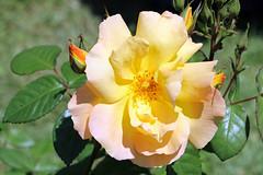 Maig_1327 (Joanbrebo) Tags: canoneos70d efs18135mmf3556is eosd autofocus barcelona blumen blossom park parque parc parccervantes flores flors flowers fiori fleur