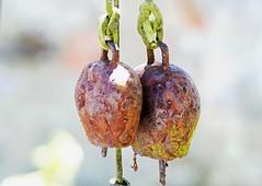 rusty garden bells ___ campanas oxidadas del jardn (Roger S 09) Tags: asturias cabranes santolaya santaeulalia campanas chimes