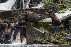 IMG_6541_1 (kalday) Tags: chichagofisland alaska pavlofriver brownbear grizzlybear kodiakbear