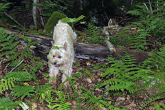 Jeter - 8/22/16 (myvreni) Tags: vermont summer nature outdoors animals dogs cairnterriers pets